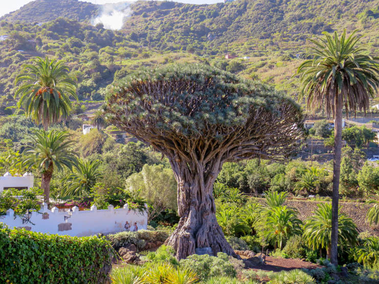 Icoddelos Vinos-Dragon Tree