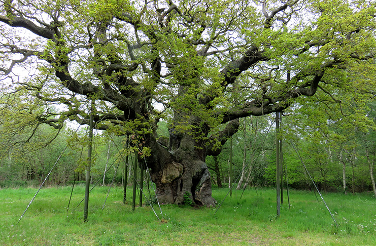 The ancient Major Oak still stands where Robin Hood met his Merry Men in Sherwood Forest.