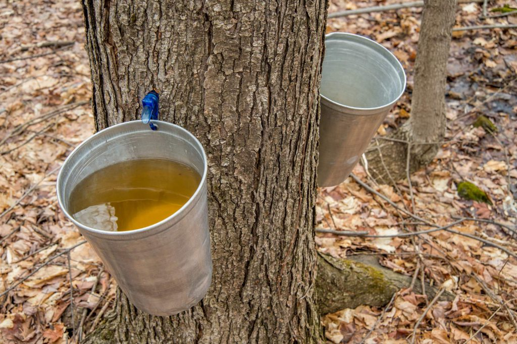 People are collecting sap from maple trees to produce maple syrup in Quebec.